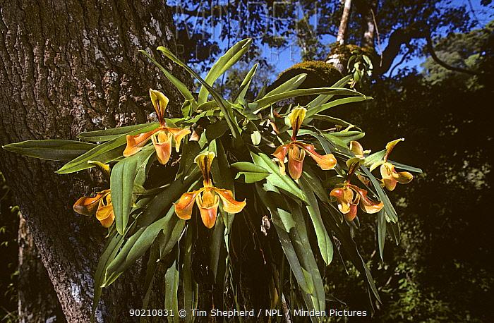Venus slipper orchid (Paphiopedilum villosum) Thailand  -  Tim Shepherd/ npl