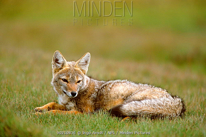 Pampas fox resting (Pseudolopex gymnocerus) Torres del Paine NP, Patagonia, Chile South America  -  Ingo Arndt/ npl