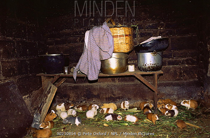 Guinea pigs kept for food in kitchen, Otovalo, Ecuadorian Andes, South America  -  Pete Oxford/ npl