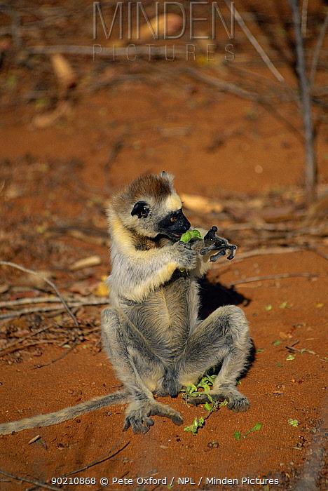 Verreaux's sifaka eating (Propithecus verreauxi) Berenty Private Reserve, Madagascar  -  Pete Oxford/ npl