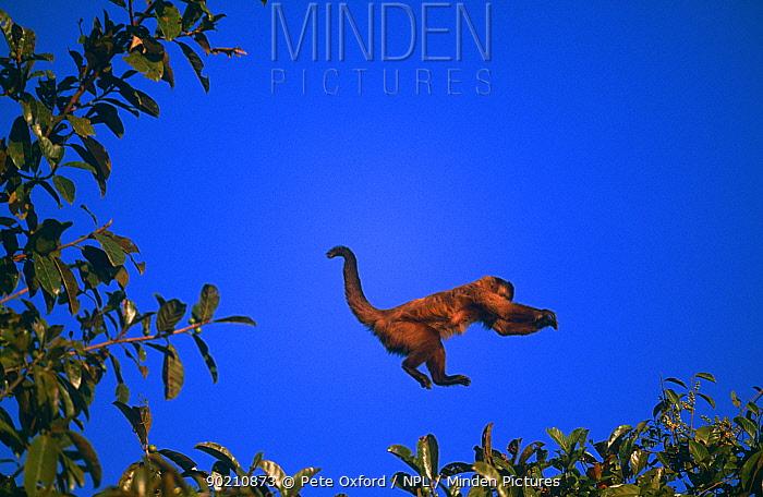 Brown capped capuchin monkey leaping (Cebus apella) Pantanal, Brazil  -  Pete Oxford/ npl