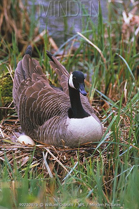 Canada goose sitting on eggs at nest (Branta canadensis) Wiltshire England UK  -  William Osborn/ npl
