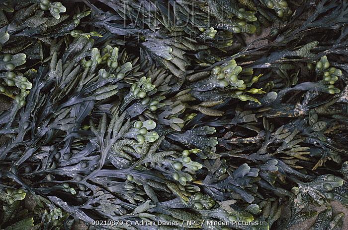 Bladder wrack seaweed (Fucus vesiculosus) at low tide South England UK  -  Adrian Davies/ npl