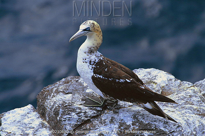 Second year juvenile Gannet (Morus bassana) Bass rock, Scotland  -  George Mccarthy/ npl