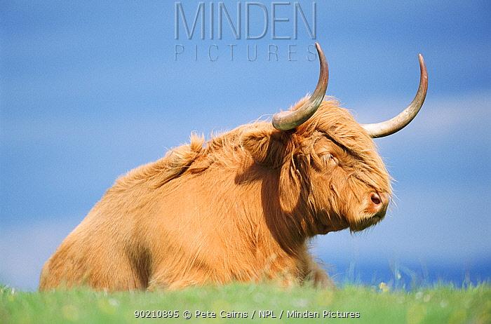 Highland cow resting (Bos taurus) Strathspey, Scotland, UK  -  Pete Cairns/ npl