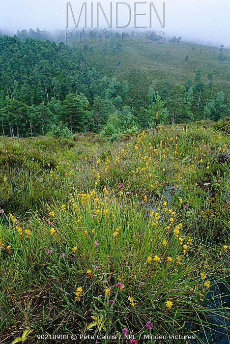 Bog asphodel (Narthecium ossifragrum) flowering on edge of pine forest, Highlands, Scotland, UK  -  Pete Cairns/ npl