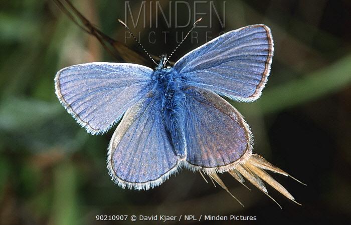 Common blue male butterfly (Polyommatus icarus) Wiltshire, UK  -  David Kjaer/ npl
