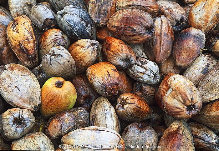 Pile of harvested (fallen) coconuts, Mahe Island, Seychelles, Indian Ocean  -  Gavin Hellier/ npl