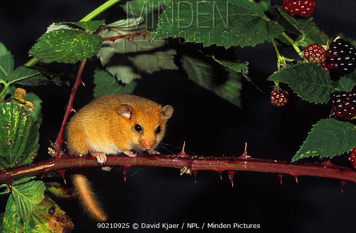 Dormouse on blackberry branch (Muscardinus avellanarius) UK  -  David Kjaer/ npl