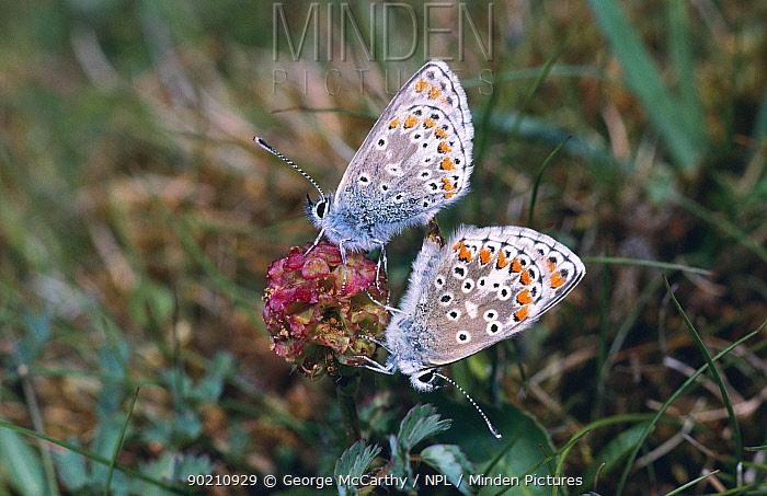Brown argus butterflies mating (Aricia agestis) Sussex, UK  -  George Mccarthy/ npl