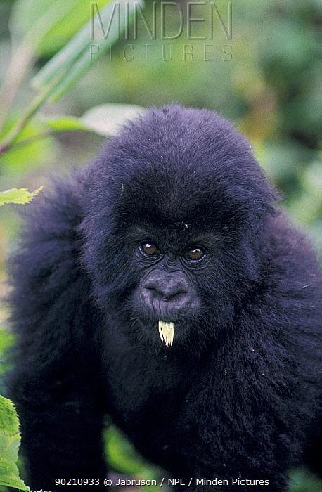 Mountain gorilla juvenile (Gorilla g beringei) Virunga NP, Rwanda  -  Jabruson/ npl