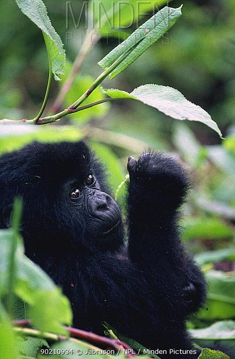 Mountain gorilla juvenile resting (Gorilla g beringei) Virunga NP, Rwanda  -  Jabruson/ npl