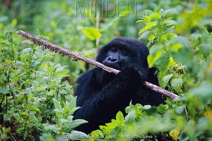 Mountain gorilla chews Lobelia stem (Gorilla gorilla beringei) Virunga NP, Rwanda  -  Jabruson/ npl