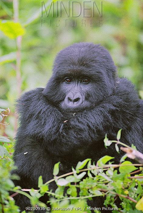 Mountain gorilla resting (Gorilla g beringei) Parc des Volcans, Rwanda  -  Jabruson/ npl
