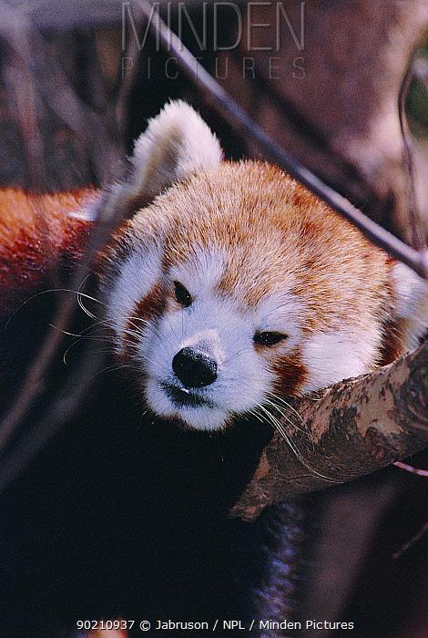Red panda resting in tree (Ailurus fulgens) captive Atlanta Zoo, USA  -  Jabruson/ npl
