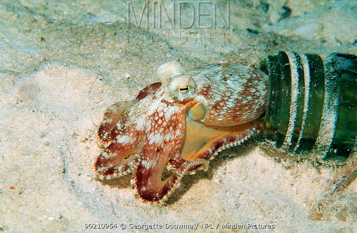 Veined octopus emerging from bottle where it has its home (Octopus marginatus) Mabul, Malaysia  -  Georgette Douwma/ npl