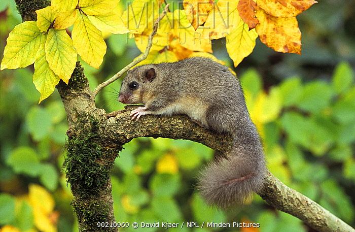 Fat, Edible dormouse in tree (Glis glis) UK, captive  -  David Kjaer/ npl
