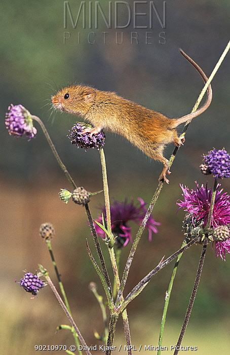 Harvest mouse (Micromys minutus) captive UK  -  David Kjaer/ npl