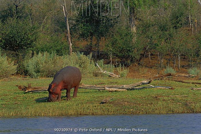 Hippopotamus grazing (Hippopotamus amphibius) by Lake Kariba, Zimbabwe  -  Pete Oxford/ npl