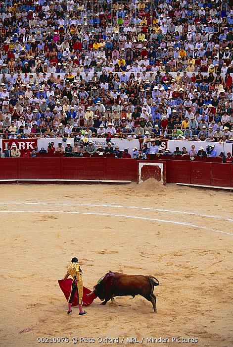 Bull fight, Quito festival, Ecuador 6 December South America  -  Pete Oxford/ npl