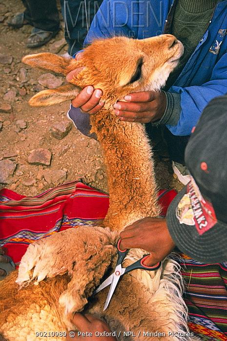 Captured wild Vicuna wool being sheared with scissors (Lama vicugna) SW Bolivia, S America to benefit San Antonio community Dept Potosi  -  Pete Oxford/ npl