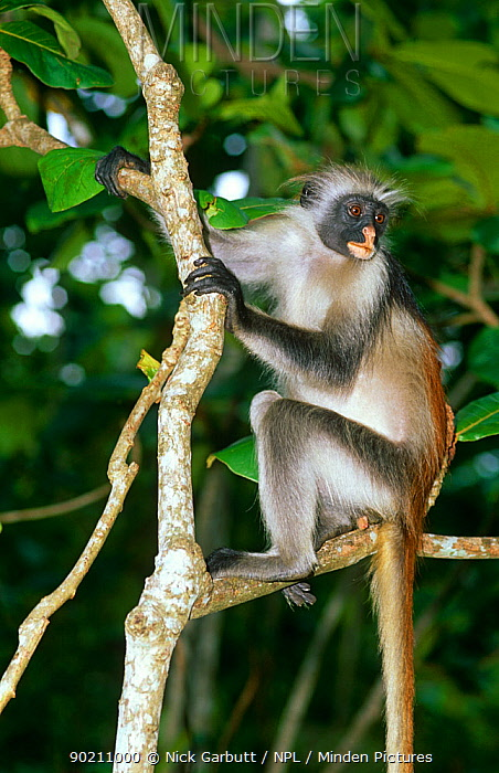 Zanzibar red colobus monkey (Colobus badius kirkii) Jozani Forest, Zanzibar, Tanzania  -  Nick Garbutt/ npl