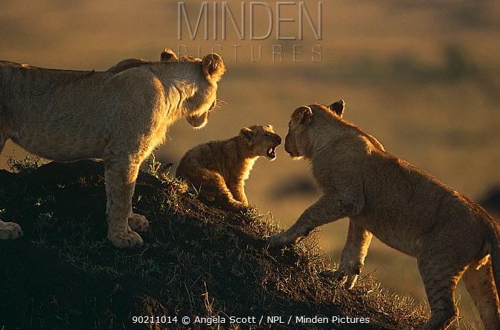 Juvenile African lions playing with small cub (Panthera leo) Masai Mara NR, Kenya  -  Angela Scott/ npl
