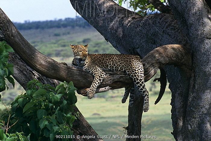 Leopard (Panthera pardus) Zawadi resting in tree, Masai Mara NR, Kenya  -  Angela Scott/ npl
