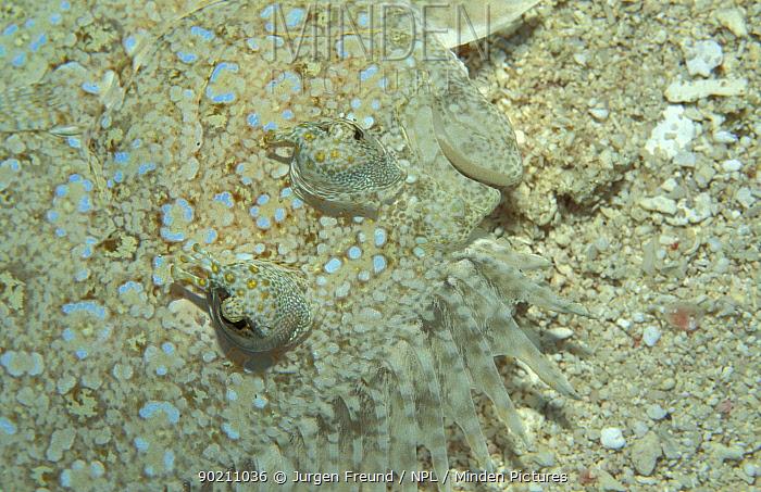Eyed flounder camouflaged on seabed (Bothus ocellatus) Caribbean sea  -  Jurgen Freund/ npl