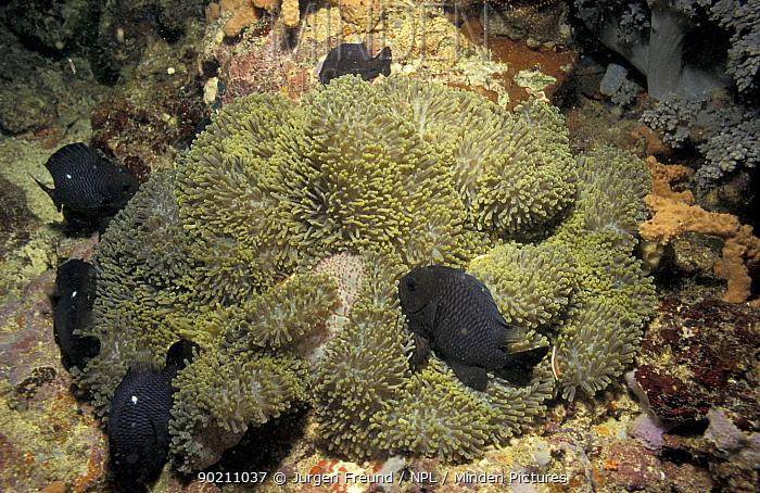 Damselfish sleeping in sea anemone at night  -  Jurgen Freund/ npl