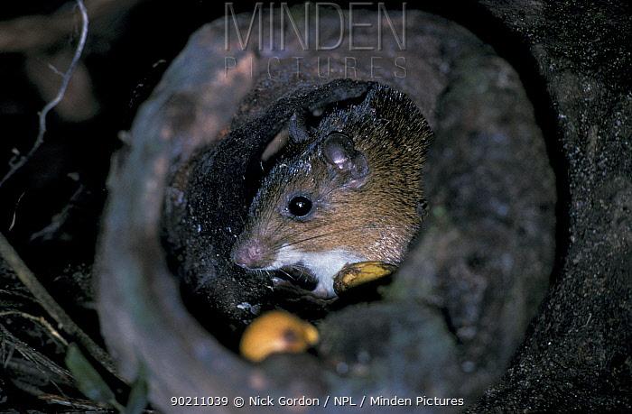 how to find a rat den