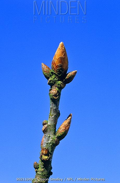 Sessile oak, terminal bud closed (Quercus petraea) Lancashire, UK sequence 1, 2  -  Jason Smalley/ npl