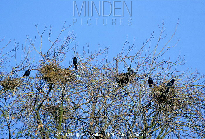 Rookery with nests at top of trees (Corvus frugilegus) Warwickshire, UK  -  Mike Wilkes/ npl
