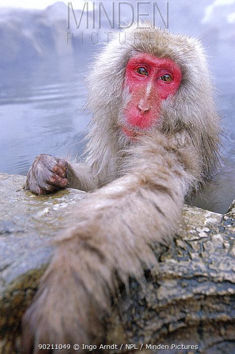 Japanese macaque warming in hot thermal spring (Macaca fuscata) Joshin-etsu NP, Japan  -  Ingo Arndt/ npl