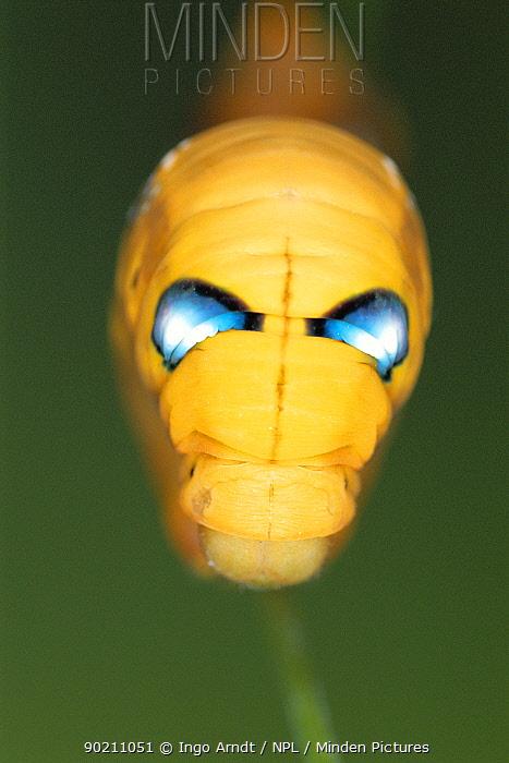 Silkmoth caterpillar showing eye spots for defense (Deilephila nerii)  -  Ingo Arndt/ npl