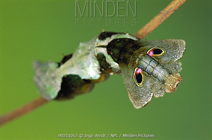 Silkmoth caterpillar with eye spots to mimic snake (Oxytenis beprea) Guanacaste, Costa Rica, Central America  -  Ingo Arndt/ npl