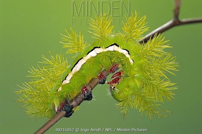 Moon moth caterpillar with defence spines (Automeris amanda) Argentina, South America  -  Ingo Arndt/ npl