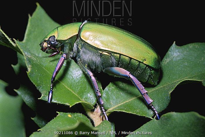 Scarab beetle (Chrysina beyeri) Arizona, USA  -  Barry Mansell/ npl