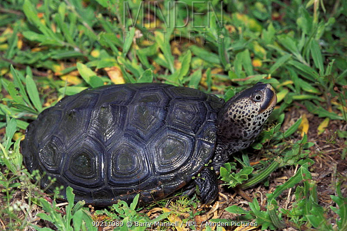 Florida east coast terrapin (Malaclemys tequesta tetquesta) Florida, USA  -  Barry Mansell/ npl