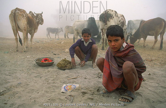 Boys looking after cattle and collecting dung for fuel, Deshnoke village, Rajasthan, India 2004  -  Laurent Geslin/ npl