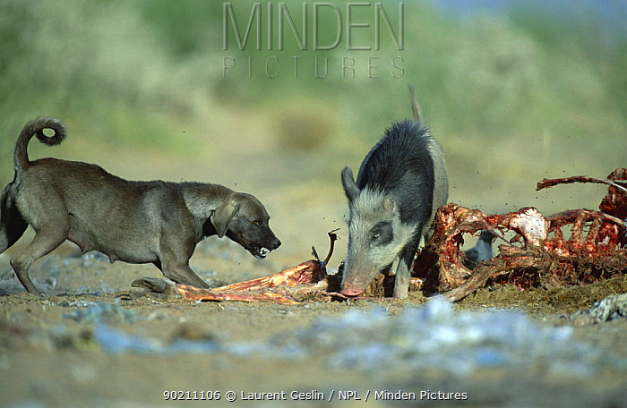 Wild boar (Sus scrofa) conflicts with feral Dog (Canis familiaris) scavenging at landfill site, India  -  Laurent Geslin/ npl