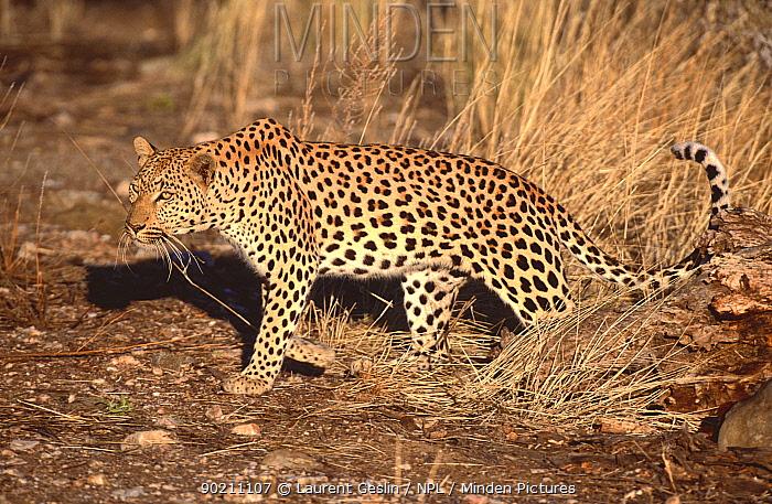 Leopard (Panthera pardus) Etosha NP, Namibia  -  Laurent Geslin/ npl