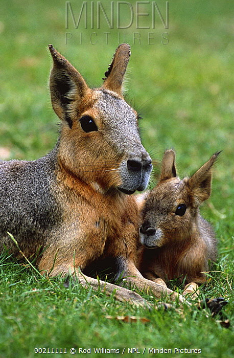 Patagonian cavy, mara with young (Dolichotis patagonum) captive, from Argentina  -  Rod Williams/ npl