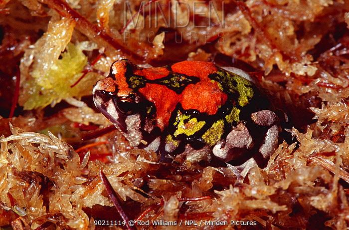 Painted, Rainbow burrowing frog (Scaphiophryne gottlebei) captive, from Madagascar  -  Rod Williams/ npl