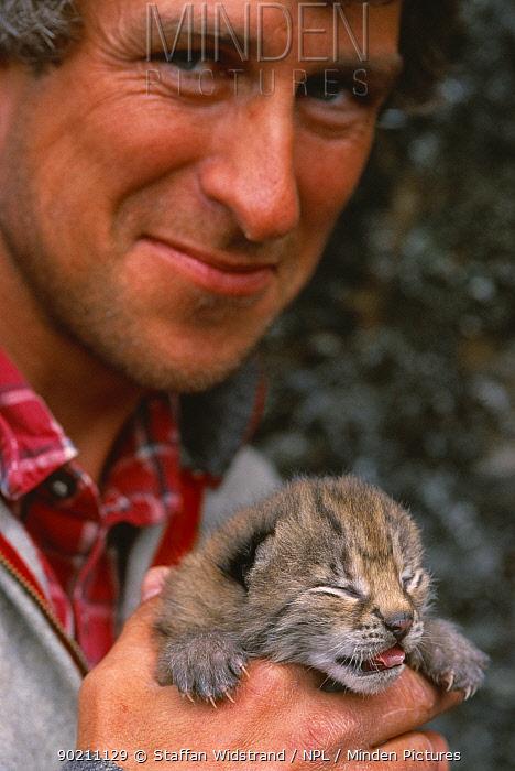 Wild Lynx kitten caught to put microchip under skin, Stora Sjofallet NP, Lapland, Sweden  -  Staffan Widstrand/ npl