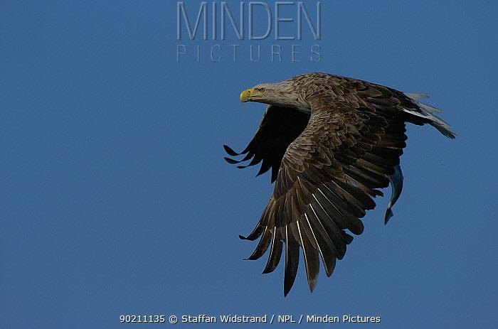 European, White tailed sea eagle (Haliaetus albicilla) flying, Norway  -  Staffan Widstrand/ npl