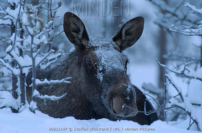 Moose in snow, Alces alces, Sarek NP Lapland, Sweden  -  Staffan Widstrand/ npl