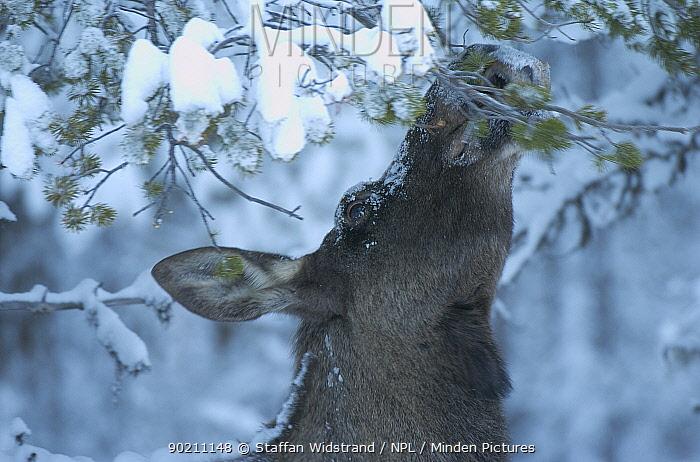 Moose in snow (Alces alces) Sarek NP, Lapland, Sweden  -  Staffan Widstrand/ npl