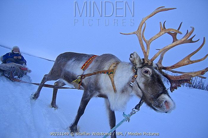 Reindeer pulling sledge (Rangifer tarandus) Stora Sjofallet NP Lapland, Sweden  -  Staffan Widstrand/ npl