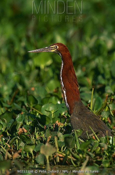 Rufescent Tiger-Heron (Tigrisoma lineatum) head and neck in wetland vegetation, Pantanal, Brazil  -  Pete Oxford/ npl